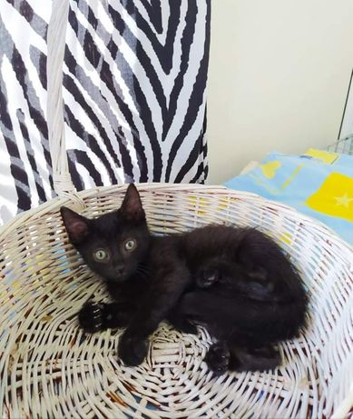 Отдам чёрного котенка ,девочка ,2 месяца