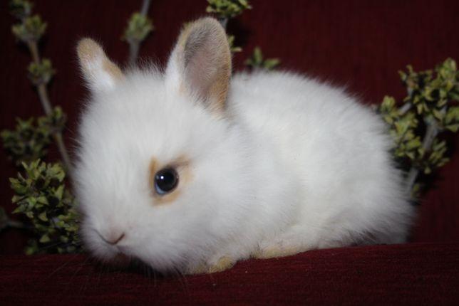 Беленькие карликовые крольчата в продаже
