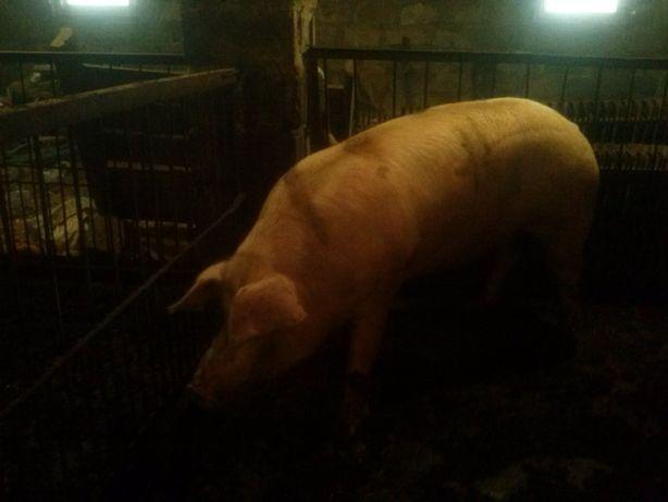 Свинья на мясо Продам