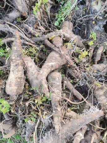 Pietruszka korzeń