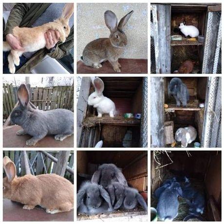 Hodowla królików Rasowych - Wszystkie Rasy!!Duży Wybór!!Młode/Dorosłe!