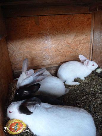 Sprzedam króliki małe i duże