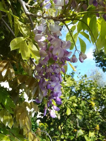 Trepadeiras glicinia lilas
