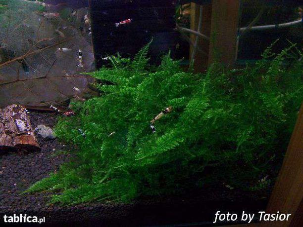 DUŻY zestaw startowy roślin i mchów do akwarium / mchy / moss