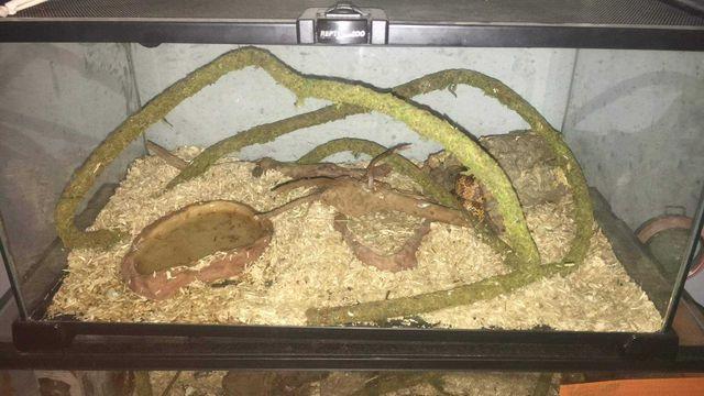 Wąż zbożowy OKAZJA