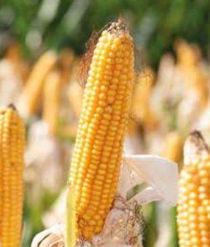 SY COLLOSEUM - nasiona kukurydzy