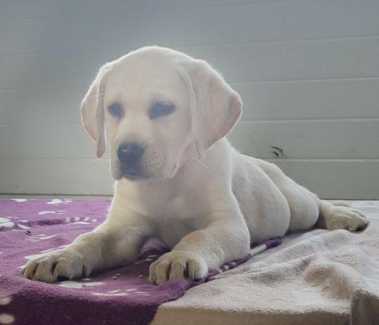 Labrador Labradory Szczenięta Biszkoptowe