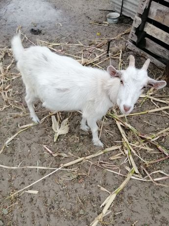 Продам козу, 8 месяцев