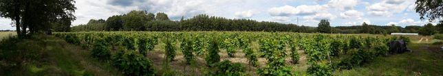 WINO winogron prosto z winnicy wino ekologiczne półwytrawne