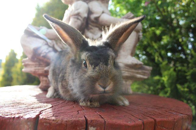 królik miniaturka samiec