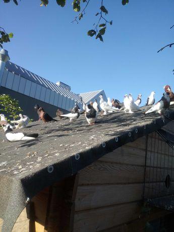 Sprzedam golebie ozdobne
