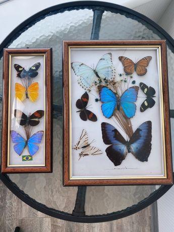 Бабочки в рамке,лот,с Бразилии