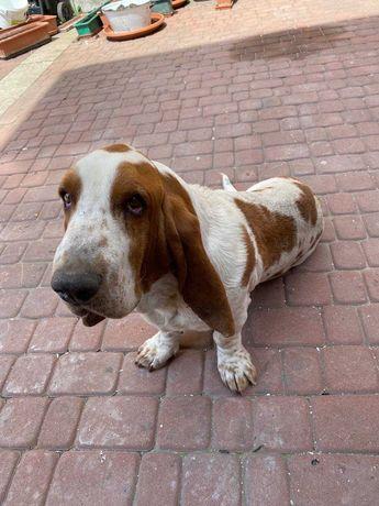 Basset Hound Rodowód Pies 4 lata