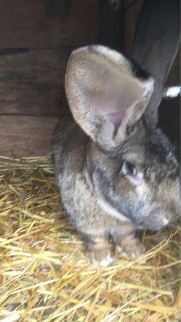 Sprzedam młode króliki BOS Belgijski Olbrzym Szary Belg
