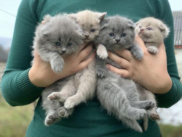 Шотландські кошенята, скотіш фолд/страйт