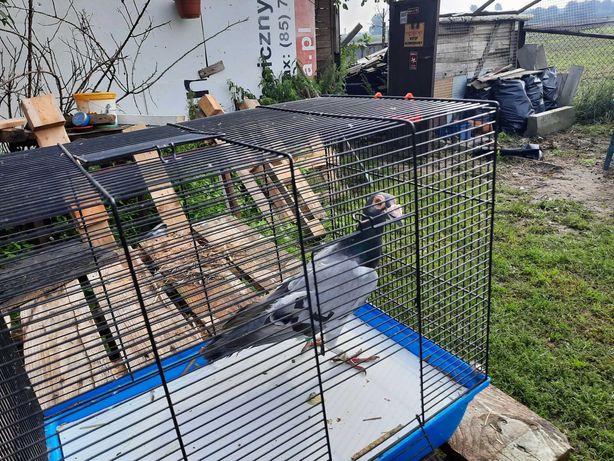Gołębie                          ,