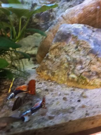 Акваріумні рибкі гуппі