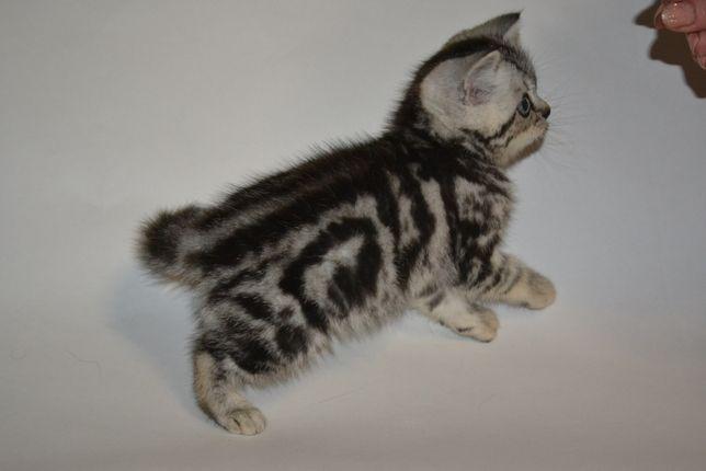 Шотландский котик мраморного окраса