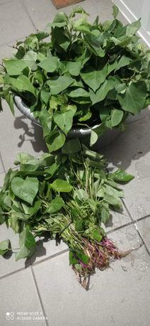 Molho de 150 pés de batata doce para plantar 10€