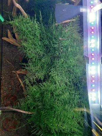 Mech Taiwan Moss - Taxiphyllum alternans