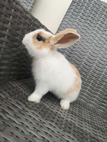 Śliczny króliczek miniaturka karzełek różne królik króliki