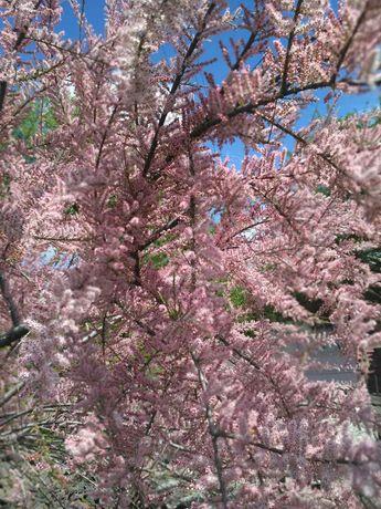 Тамариск рожевий саджанці