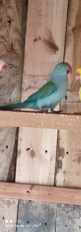 Aleksandretta papuga