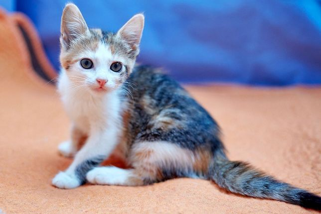 Маленькая Трикси трехцветного окраса (котенок, 2 мес.) принесет удачу