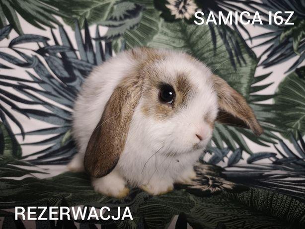 Mini lop fuzzy lop