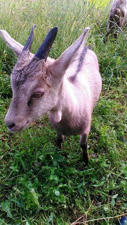 Продам козу котную возраст 8 месяцев