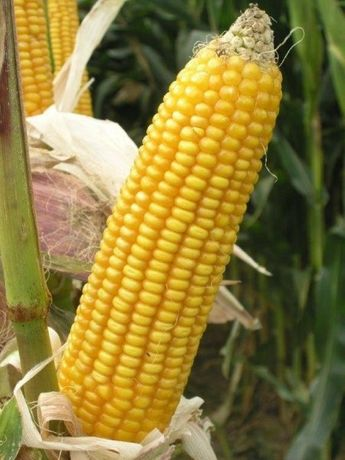 kukurydza 2020 kolby