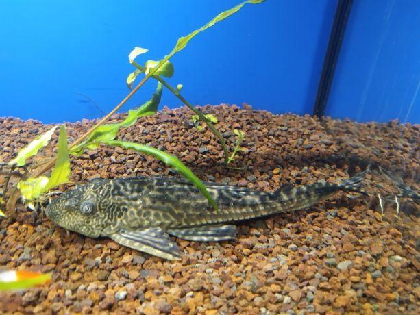 Zbrojnik Lamparci (glonojad) dorosły ok 20 cm do akwarium