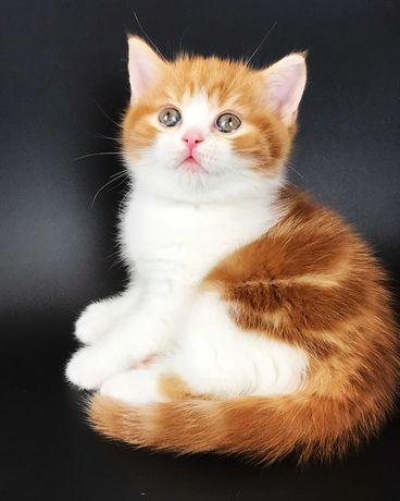 Скоттиш страйт, шотландский котенок.
