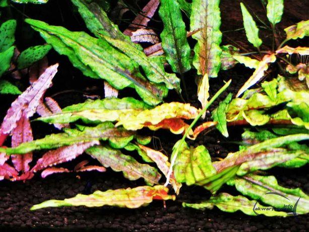 Cryptocoryne wendtii 'Green Gecko' - RARYTAS