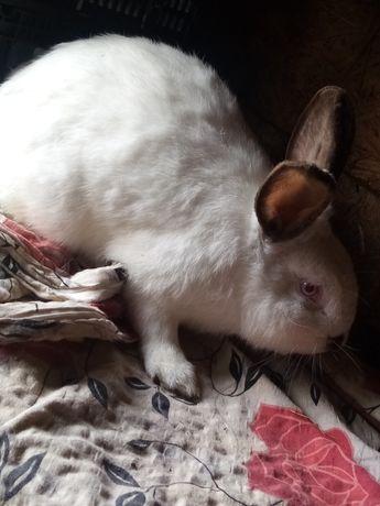 Samce królików mieszańce