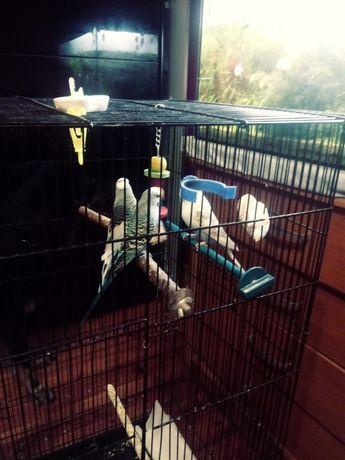 Sprzedam 3 papugi