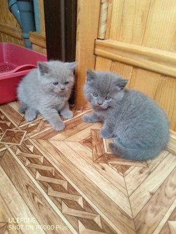 два шотландських красеня