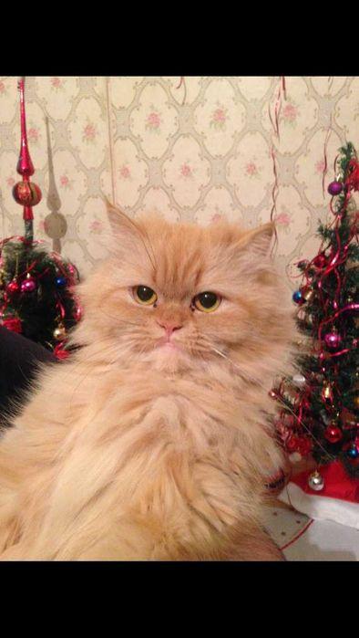 Вязка для персидской кошки Каменское - изображение 1