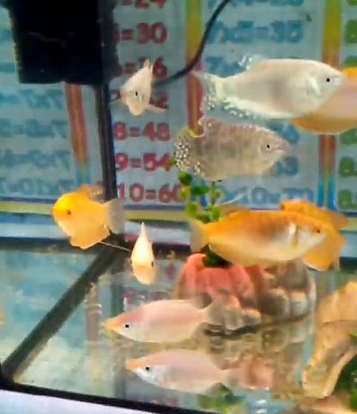 Рыбки гуруми и гуппи