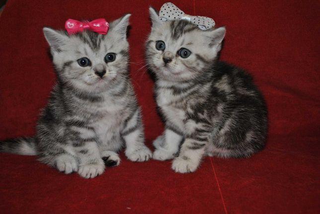 Продаются породистые котята Скотиш-страйт  окрас NS-22