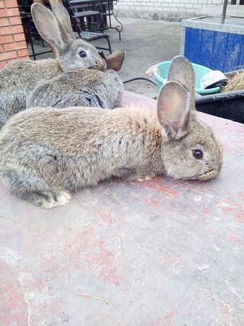 Крольчата породы Фландер