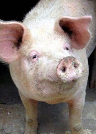 Свиня 150 кг домашнього годування