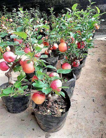 Macieira Anã com Fruto