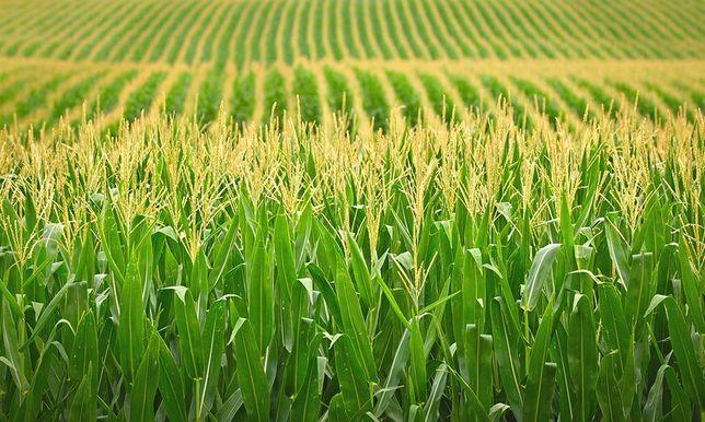 """Семена кукурузы """"Монблан""""(стандарт)"""