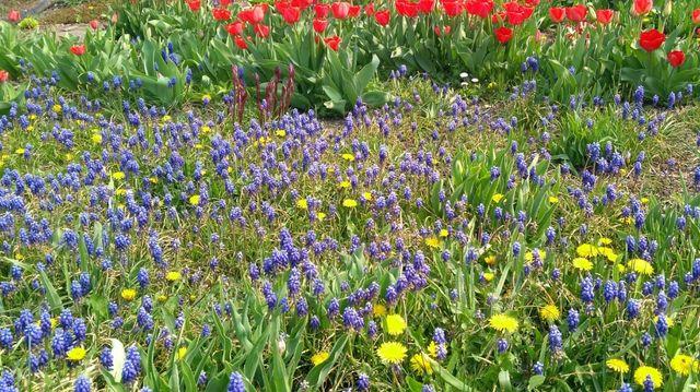 Квіти Мускарі гіацинти цибулини(луковицы гиацынты мускари)