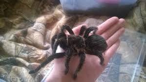 супер павук птахоїд brachypelma albopilosum паук птицеед дешево