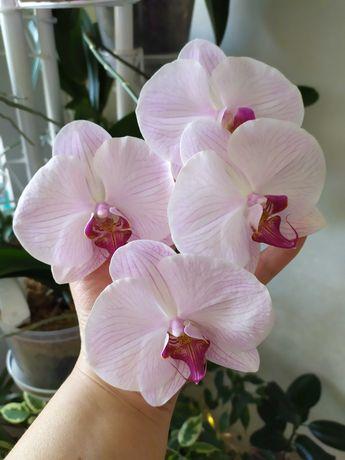Орхидея Королевская крупная