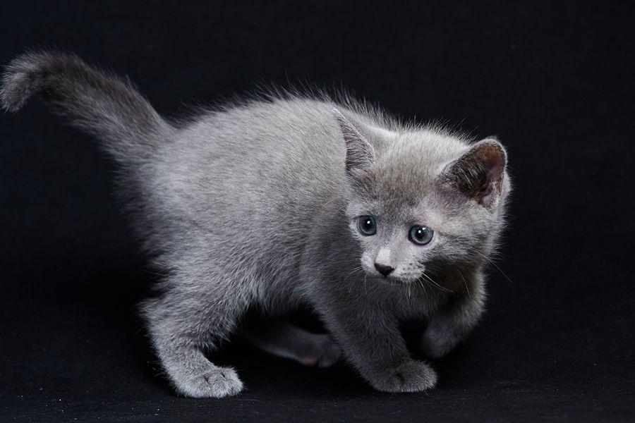 Клубные котята - русская голубая порода. Возраст 3 мес.
