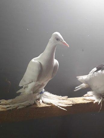 Gołębie ozdobne dobrej  klasy
