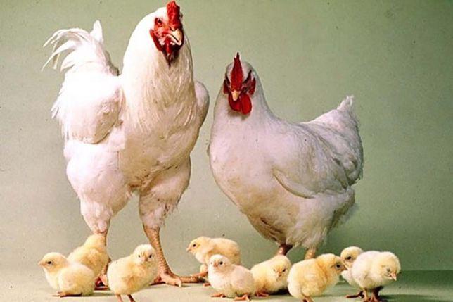 Суточные цыплята( бройлеры, мясояичные)